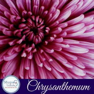 crysanthemum